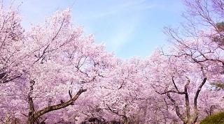 桜com.jpg
